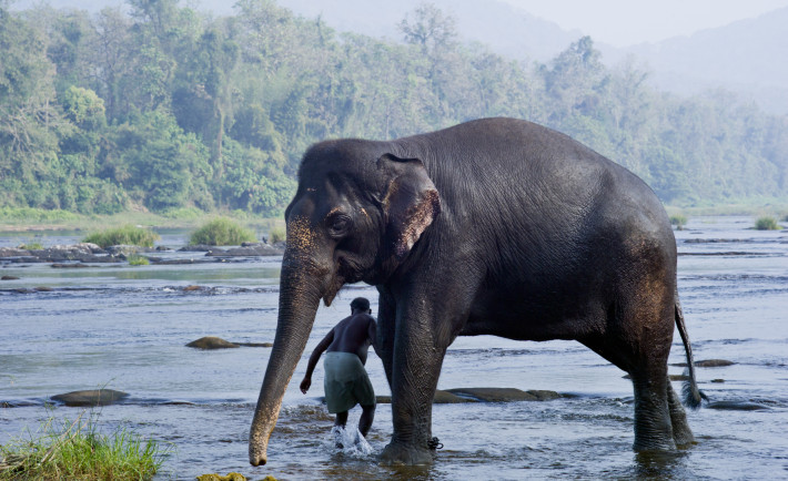 an elephant in the river